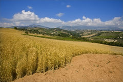 Wheat field. Between the sunny hills Royalty Free Stock Image