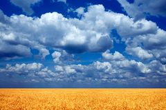 Wheat field. Royalty Free Stock Photo