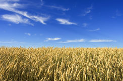 Wheat field. Summer wheat field with blue sky stock image