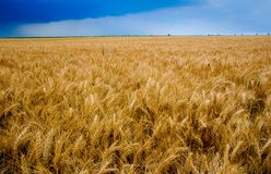 Wheat field. A Wheat Field with blue sky Stock Photo