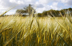 Wheat field. Close view of wheat field at summer Stock Photo