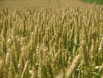 Wheat field. In summer Royalty Free Stock Photos