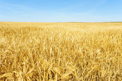 Wheat field. View of a wheat open field, a blue sky is on the foreground Stock Photos