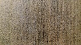 Wheat field from above. 4K. Wavy movement of wheat ears. Low flight and take off over the wheat field, panoramic view from the air stock footage