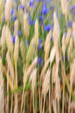 Wheat field abstract. Motion blur abstract of a beautiful wheat field almost ready for harvest with blue flowers stock photos