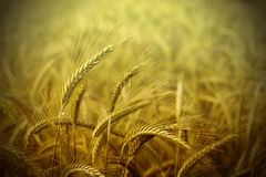 Wheat field abstract background Stock Photo