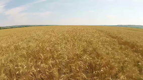 Wheat field aerial stock footage