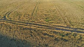 Wheat field aerial view stock video footage