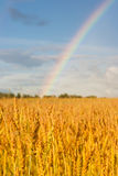 Wheat Field After Rain With Rainbow Stock Image