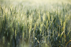 Wheat field. The wheat field in the afternoon royalty free stock photo