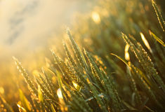 Wheat field in the afternoon Royalty Free Stock Image