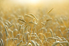 Wheat Field With Afternoon Sunlight Stock Photo