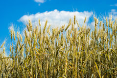 Wheat field against a blue sky Stock Image