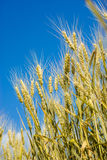 Wheat field against a blue sky Royalty Free Stock Photos