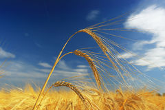 Wheat field Stock Images