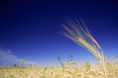 Wheat field against blue sky Stock Photos