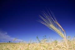 Wheat field against blue sky stock photos