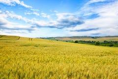 Wheat field against a blue sky Stock Photo