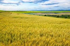 Wheat field against a blue sky Royalty Free Stock Photo