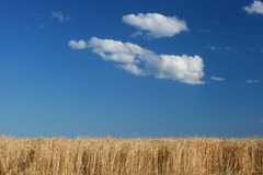 Wheat field against the blue sky Stock Images