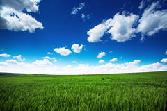 Wheat field against blue sky with white clouds. Agriculture scen Stock Photography