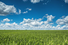 Wheat field against blue sky with white clouds. Agriculture scen Stock Image