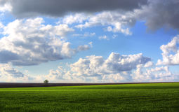 Wheat field against blue sky with white clouds. Agriculture scene Stock Photography