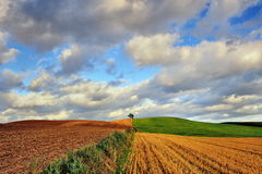 Wheat field against blue sky with white clouds. Agriculture scene Royalty Free Stock Photo