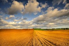 Wheat field against blue sky with white clouds. Agriculture scene Stock Photo