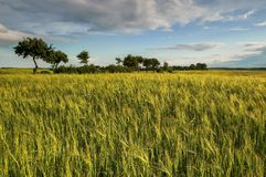 Wheat field against blue sky with white clouds. Agriculture scene Royalty Free Stock Images