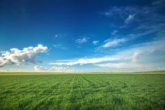 Wheat field against blue sky with white clouds Stock Photo