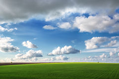 Wheat field against blue sky with white clouds Royalty Free Stock Photography