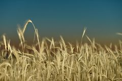 Wheat field against dark sky Royalty Free Stock Image