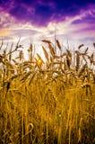 Wheat field against dramatic sky Stock Photos