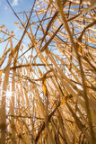 Wheat field against lovely summer blue sky Stock Image