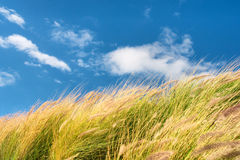 Wheat field against skies on windy day Royalty Free Stock Images