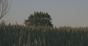 Wheat field against tree stock video footage