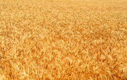 Wheat Field Agriculture Stock Images