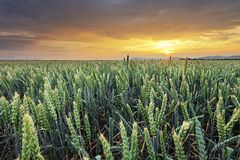 Free Wheat Field - Agriculture Royalty Free Stock Images - 133337989