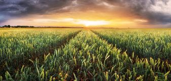 Wheat field - Agriculture stock images