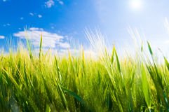 Wheat field. Agriculture stock photos
