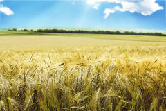 Wheat field, agriculture. Field in countryside with yellow and ripe wheat Royalty Free Stock Image
