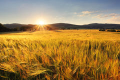 Wheat field - agriculture farm, industry Royalty Free Stock Photo