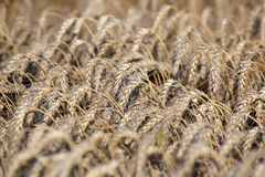 Wheat field agriculture industry Royalty Free Stock Photos