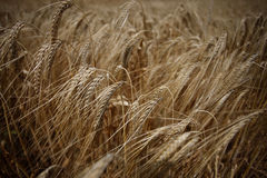 Wheat field agriculture nature meadow growing food Royalty Free Stock Image