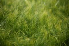 Wheat field agriculture nature meadow growing food Royalty Free Stock Photos