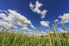 Wheat field. Agriculture scene. Wheat field and blue sky with white clouds. Agriculture scene Royalty Free Stock Photos
