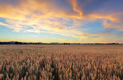 Wheat field - Agriculture Royalty Free Stock Image
