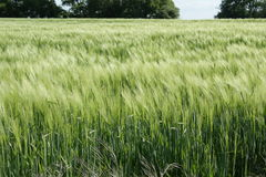 Wheat field. In Aisne, Picardie region of france royalty free stock image