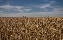 Wheat field in Alberta Royalty Free Stock Photography